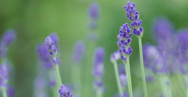 drbronner-lavender