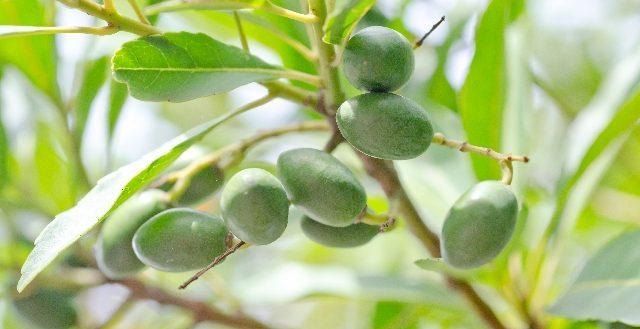 drbronner-olive
