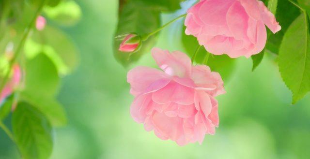 drbronner-rose
