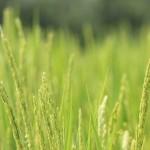 美味しいお米を見つけた!冷めても美味しいお弁当にも最適!『第45回農産部門天皇杯受賞』【和多農産】の『わだ米 厳選ミルキークイーン』