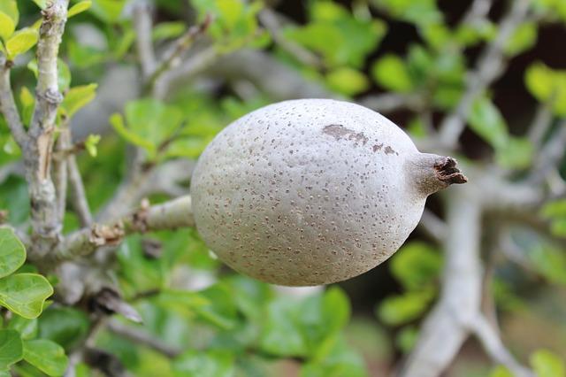 Gardenia Fruit