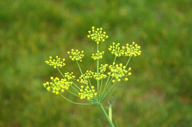 fennel-